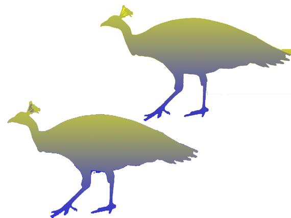 peacock optical illusion answer