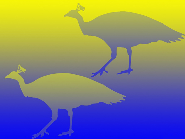 peacock optical illusion